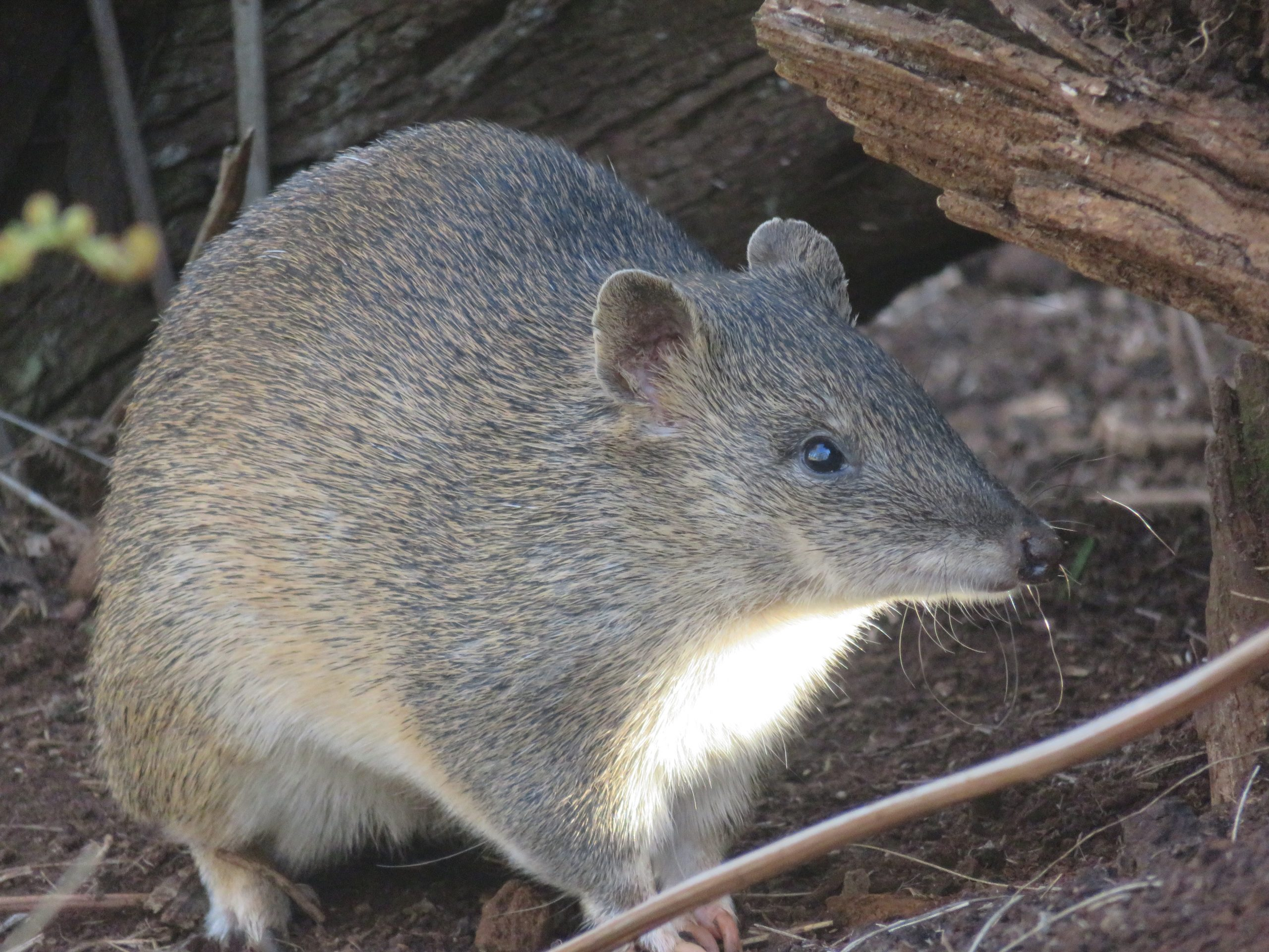Southern Brown Bandicoots Image