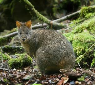 Tasmanian Pademelons