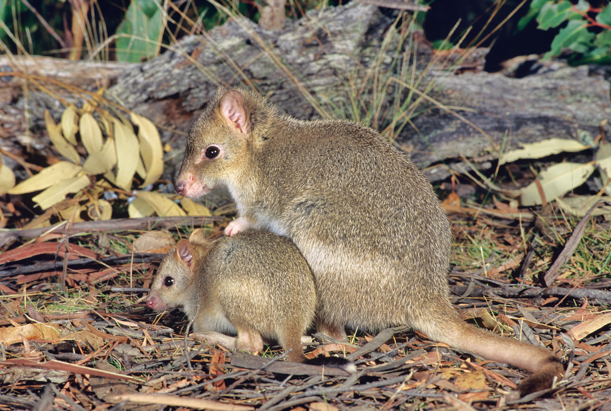 Eastern Bettong Image