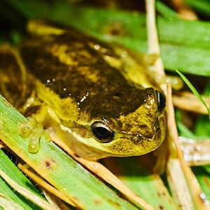 The Southern Brown Tree Frog